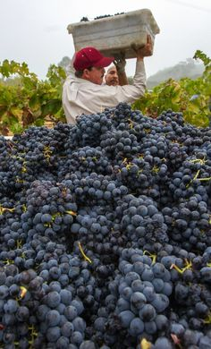 grape harvest, Sonoma Valley, CA