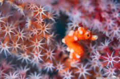 A tiny Denise Pygmy Seahorse (1.5cm) nestled amongst the polyps of a Sea Fan.  Lembeh Strait, Indonesia