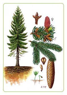 Ke stažení - Vojenské lesy a statky dětem Botanical Drawings, Botanical Prints, Pine Tree Art, Picea Abies, Nature Sketch, Conifer Trees, Forest School, Nature Journal, Plant Illustration