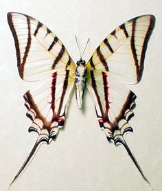 Eurytides Protesilaus The  Zebra Swallowtail Butterfly from Costa Rica