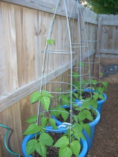 beans and peppers grow up, up-side down tomato cages