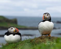 Karen Miller Photography posted a photo:  Puffins on Lunga, Treshnish Islands.  Available as a greeting card via my website:  www.karenmillerphotography.co.uk/Greeting-Cards-and-Gifts/
