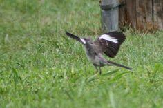Strutting Mockingbird