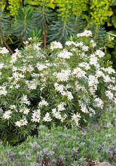 Choisya x dewitteana White Dazzler ('Londaz')   With slender evergreen foliage – more elegant than the usual choisyas – on a    neat, dense-growing plant, the clusters of fragrant white flowers cover the    plant in spring and again in autumn (2m).