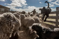 TIERRA DEL FUEGO, CHILE 11/10/2016 At the southern tip of South America, dogs helped move sheep into the shearing shed.