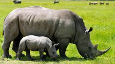 A 3-week-old calf rhinoceros stands by his mother.