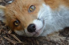 Pudding the Red Fox | National Fox Welfare Society