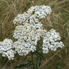 cream for dry skin A yarrow cream helps us to treat wounds, eczema, dry skin and inflammation. Yarrow is known for its anti-inflammatory and wound-healing properties. For an ointment from the yarrow you can use dried or fresh herb. Achillea Millefolium, Cream For Dry Skin, Wound Healing, Tea Light Holder, Herbal Medicine, Fresh Herbs, Tea Lights, Herbalism, Skin Care