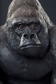 You can almost feel the warm breath of the Wildlife Wonders™ Silverback Gorilla. This replica captures its wrinkled face in stunning detail. You can see the real thing at Chicago's Lincoln Park Zoo.