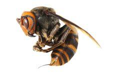 The Asian giant hornet, or yak-killer hornet (Vespa mandarinia), is blamed for dozens of deaths in China this year.