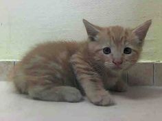 SAFE! TO BE DESTROYED 8/2/14 ** BABY ALERT! ONLY 5 WEEKS OLD! upon intake the kitten appeared to be very sweet; Too young to adopt, eating well on own Male 5 weeks Littermate A1008379 ** Brooklyn Center  My name is RYAN. My Animal ID # is A1008380. I am a male org tabby domestic sh. The shelter thinks I am about 5 WEEKS old.  I came in the shelter as a STRAY on 07/28/2014 from NY 11203. I came in with Group/Litter #K14-187742.