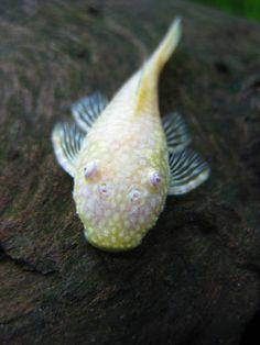 'Chimo' Albino Bushynose Pleco