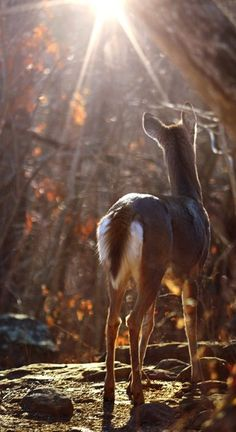 Chevreuil dans l'arkansas - Whitetail Deer, Arkansas by Jeff Rose. Beautiful Creatures, Animals Beautiful, Cute Animals, Majestic Animals, In Natura, All Nature, Autumn Nature, Tier Fotos, Mundo Animal