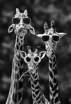 Giraffes on summer vacation