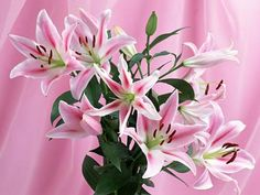 Bunga Lili Pink