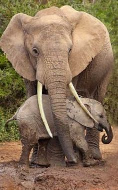 Is this elephant still alive or has she been killed for her ivory?  If she is dead, where is the little baby?  Stop elephant poaching.