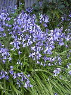 Sweet peas white pink hot pink red purple plum lavender 100 bluebell seeds wonderful spring flowering bluebells also known as wood hyacinths will grace mightylinksfo Gallery