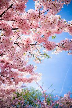 sakura) o flor del cerezo japonés es uno de los símbolos más conocidos de la cultura japonesa