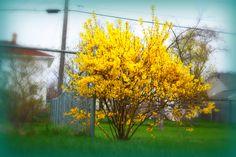 forsythia -landscaping around deck