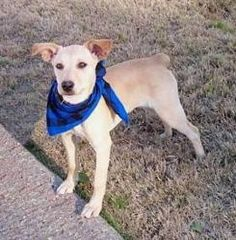 rat terrier labrador mix midge the jack russell mix mixed breed dogs pinterest 7314