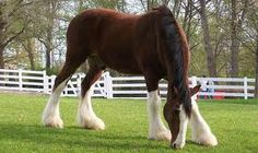 I lease a horse like this, except cuter ;) his name's romeo... quarter horse clydsdale mix!