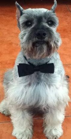 Aww such a darling mini Schnauzer, Love his BowTie❤️✨