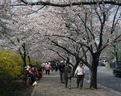 한강여의도 벚꽃
