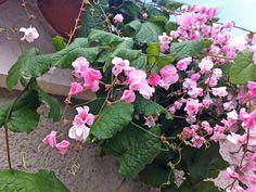 Colorful Plants, Grape Vines, Ornamental Plants, Backyards, Landscaping, Amor, Gardening, Big Flowers, Walls
