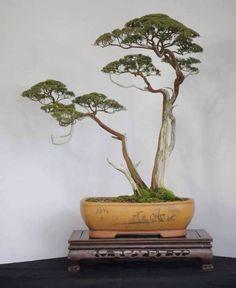 Pine Bonsai, Twin-trunk style (Sokan).