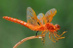 dragon flies   Amazing Flame Skimmer Orange Dragonfly Macro Photography