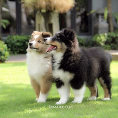 ~ Perfect SHELTIE puppies, BOTH ARE SO HANDSOME ~