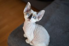 My beauty Demy Curly Embrace cattery of Devon Rex cats http://www.bigstockphoto.com/ru/image-147385043/stock-photo-adorable-extraordinary-looking-devon-rex-kitten-with-blue-eyes%2C-looking-at-the-camera