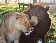 animals lions and tigers - Google Search