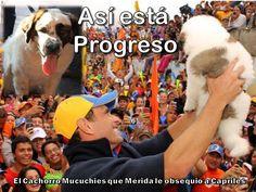 PARA LOS QUE SE PREGUNTAN COMO ESTA PROGRESO EL CACHORRO MUCUCHIES QUE MÉRIDA LE OBSEQUIO A CAPRILES !!!