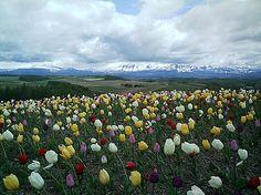 來到傳說中的美瑛四季彩之丘,鬱金香花開得特別迷人,從這裡眺望如拼布地毯般的地形一路到大雪山下,非常壯麗。