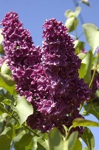 how to get a lilac bush to have more blooms