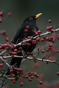 37 Trendy little black bird tattoo blackbird Little Black Bird, Little Birds, Love Birds, Beautiful Birds, Black Bird Tattoo, Tattoo Bird, British Wildlife, Backyard Birds, Garden Birds