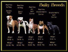 """pit bull"" is a generalization of usually 4 different breeds.  the ones here are often considered ""pit bulls"", but as you can see there are distinct differences between all of them."