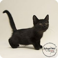 ADOPTED - Sherman - URGENT - Miami County Animal Shelter in Troy, Ohio - ADOPT OR FOSTER - Male KITTEN Domestic SH