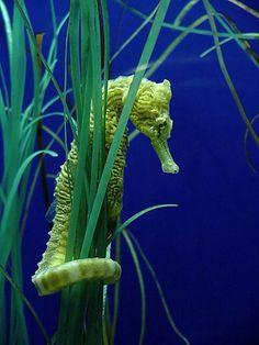 Beautiful seahorse.