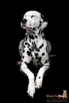 Dalmation photographed by Shoot-ya-Pooch Pet Photography www.shootyapooch.com