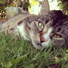 Bored cat summer animals eyes outdoors cats lay grass sunshine lazy lawn