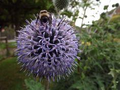 Image Photography, Dandelion, Flowers, Plants, Dandelions, Plant, Taraxacum Officinale, Royal Icing Flowers, Flower