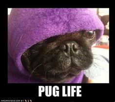 Pug Life...oh my god so freaking cute!