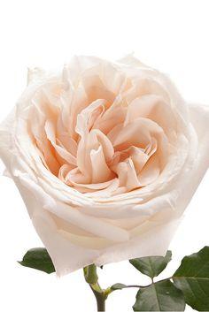 Blush Garden Rose White Ohara Garden Roses Roses Flower