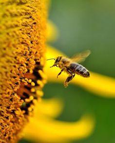10 Amazing Health Benefits of Bee Pollen