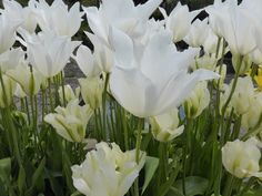 Cool whites Spring Flowering Bulbs, Spring Bulbs, Cool Stuff, Garden, Plants, Color, Cool Things, Garten, Green Onions