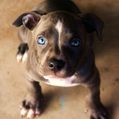 "blue nose pit bull puppy ""Bella"", But more like blue eyed beauty.. :)"