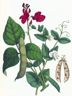 Vintage drawing of pea, scarlet runner and bean plants, c. 1858. Copyright free.