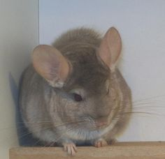 chinchilla beige hetero